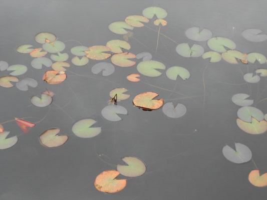 池に浮かぶ秋の模様