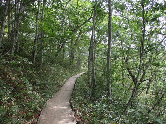 東電小屋から見晴に向かう道は右手下に只見川源流を見下ろしながらの森のなか