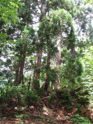 あともう一息という「下十五里」まで来ると、かつて人が植えたであろうと思われる立派な杉の木が目につくようになりました
