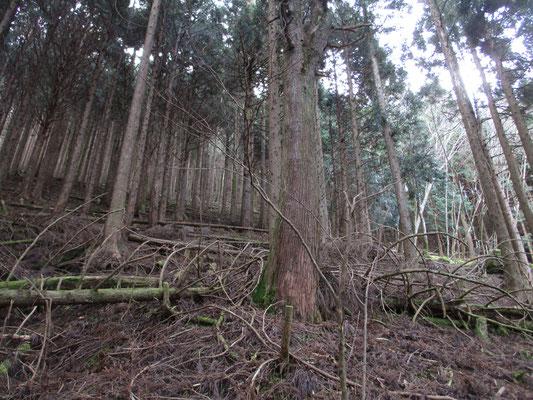 ジグザグに付けられた登山道は割と歩きやすいのですが、どうも暗い感じの植林帯のなかで面白みに欠けます