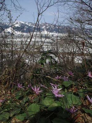 カタクリを前景に残雪の山とまだ白い下界 雪国ならではの景色です