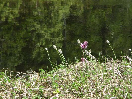 湿原の池塘に映えるショウジョウバカマと白い綿毛がひろがる直前のワタスゲ