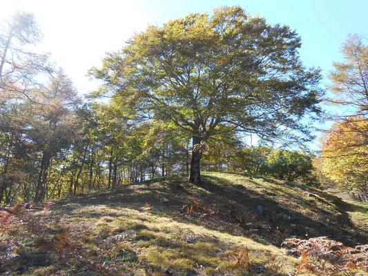 大きなブナの木