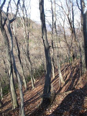 下山左手側の谷に向かって急斜面には美しい木立が広がっています