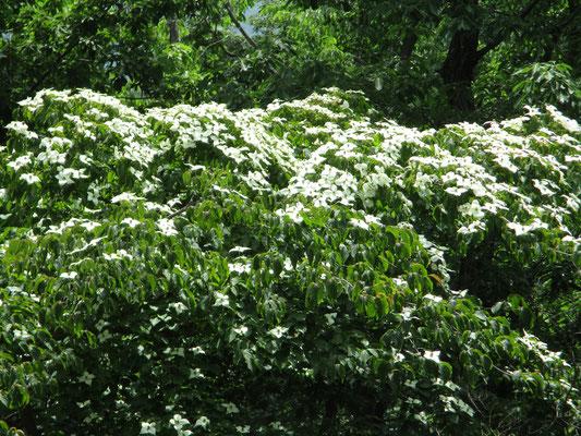 ヤマボウシの花 満開