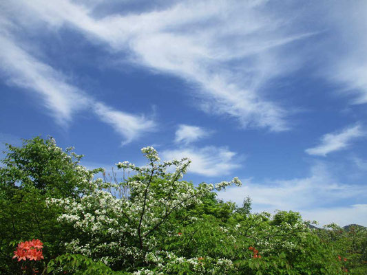 沼から空を見上げれば綿菓子をちぎったような白い雲