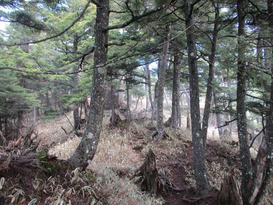 あんな岩場続きだったのが最後の急登を越えるとフッと笹原に覆われた静かな針葉樹の森に飛び出します。そのギャップがあまりにも激しく、山頂に向かう道はしばし驚きの沈黙で歩を進めます