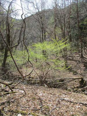 早春一番に萌える薄緑色の葉 これはアブラチャンということが、今回の山行でわかりました