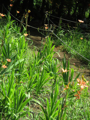 春から除草や水やりなどなど、事務局始め会員が世話をしてきたヒオウギ田んぼです
