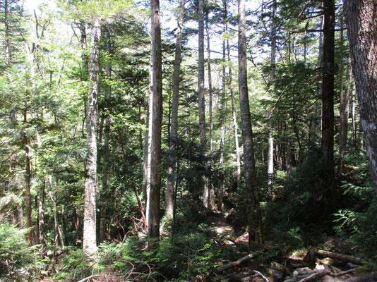 この森の特徴は針葉樹が殆どアスナロであり、ヒノキがないこと