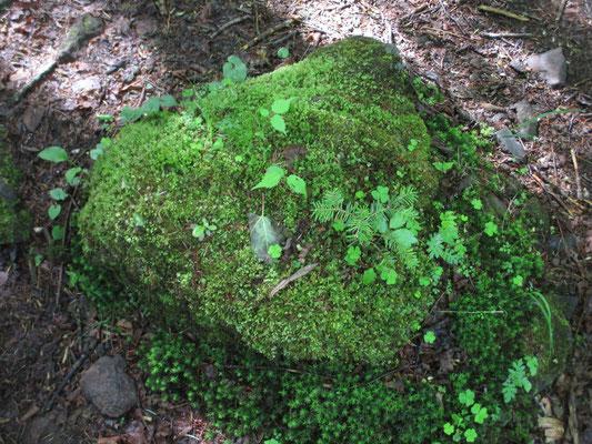 苔をまとった岩から、小さな栂の幼樹が芽生えています