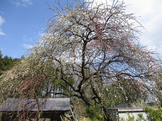 里山の楽しみは下山してからの町中歩きもその一つ 美しい枝垂れ桜が蕾をほころばせ始めていました