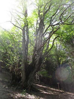 桂の巨木が並んで二本ある場所 分杭峠は今や一大「パワースポット」となっているようですが、この桂の巨木に囲まれた場所のほうが余程パワー溢れていると感じます