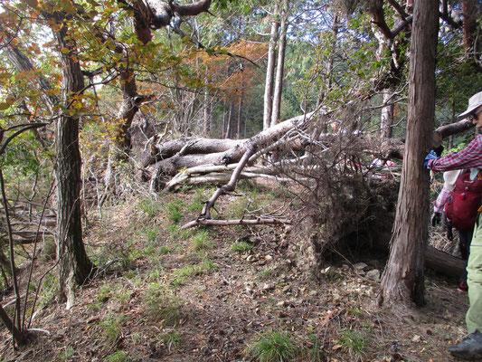 かなり大きな木が倒れている