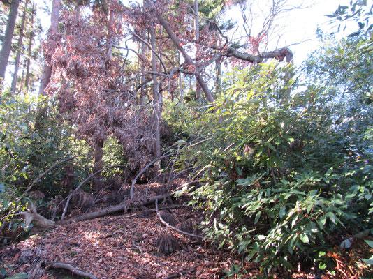 各所、台風の被害で倒木が行く手をふさいていました そしてこの周辺の山は放っておくとたいていシロダモの木が繁茂していきます この日もシロダモの藪に行く手を阻まれること度々 Iさん曰く、以前は山頂まで一気に尾根を直登できたそうですが、今はすでにそこはシロダモの森と化しています