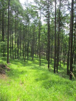 木漏れ日が美しい落葉松林