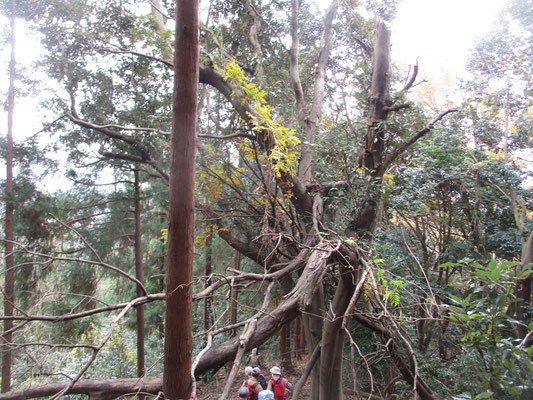 倒木やこうして折れてしまった大きな木もある 台風での強風のせいだろう