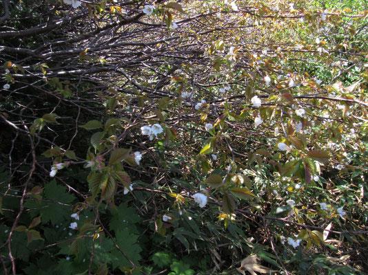 ミネザクラも咲いている!