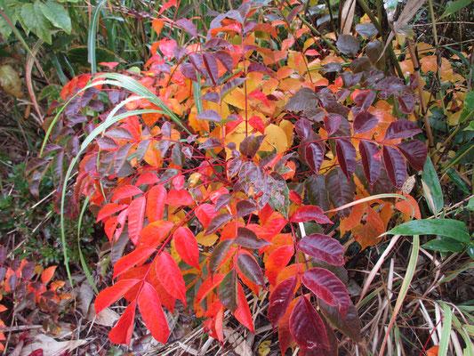 いろんな色が混じったウルシの紅葉