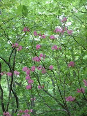 ムラサキヤシオツツジが咲いていました