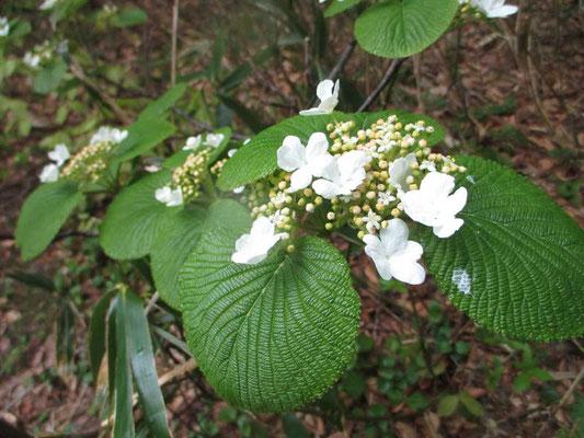 真っ白なオオカメノキの花(実は花に見えるのは萼で本当の花は中心にある丸いところ)