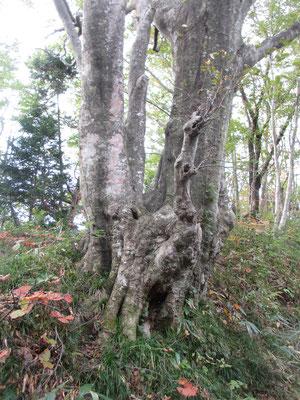 と、すぐに幹が複雑になったブナの大木が…