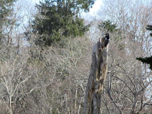 枯れ木にアカゲラが遊びに来てとまっています
