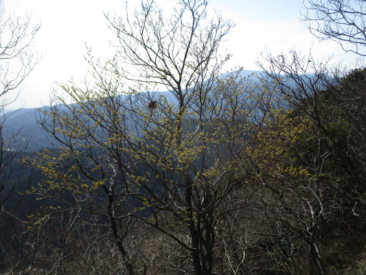 アブラチャンではなく、これはダンコウバイの花だった 黄色い花越しに大山
