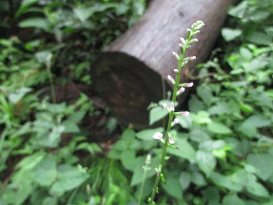7月になって咲く花も変化 ヌスビトハギの花を見つけて嬉しくなる