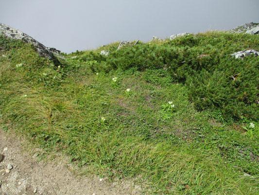 山頂部の草があるところに点々とトウヤクリンドウが咲いている