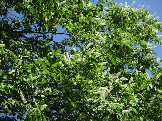 湯元周辺で目立った木本の白い花 ウワミズザクラのようですが…同行の物知り山仲間が「シウリザクラ」と、幹の様子が違うそうです