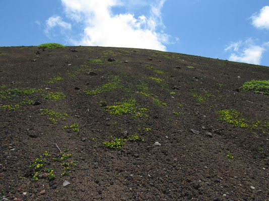 焼岳を下りながら見上げると、荒涼としたなかに黄色いタカネスミレがたくさん咲いている コマクサは見ることができなかったが、このタカネスミレの群生には驚く