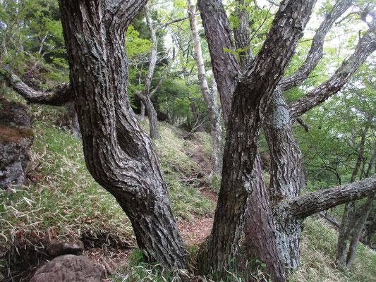 森の主のような、大きくはないが存在感のある木 ミズナラか…