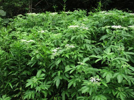 遊歩道の際にたくさん茂っていたクサニワトコ 別名ソクズ