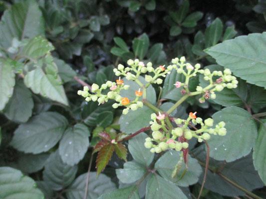 これも大変迷惑な草なのに、オレンジ色にステキな花が咲くヤブカラシ