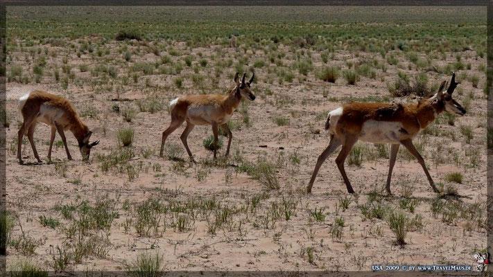 Antilopen !