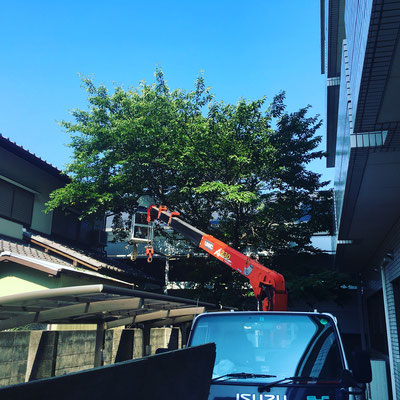 浜松の病院の桜の支障枝剪定