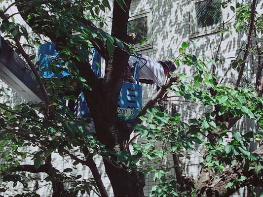 病院の桜の剪定