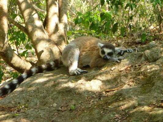 Un des nombreux lémuriens de Madagascar