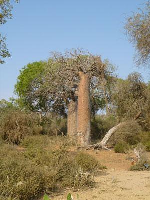 Des baobabs dans la région d'Ifaty