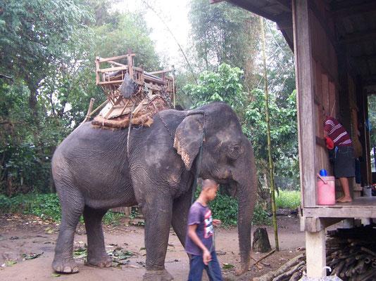 Les éléphants dans le nord du pays à Chiang Maï