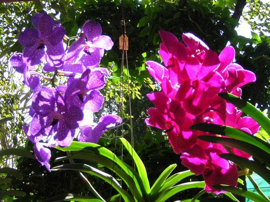 L'orchidée, la fleur la plus répandue en Thaïlande