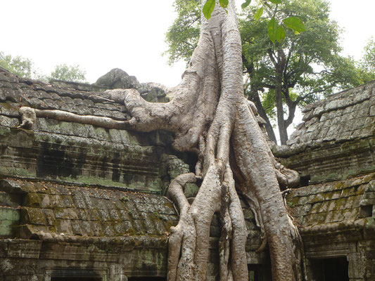 Siem Reap, la nature reprend sa place