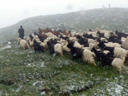 Schäferfamilie mit Herde