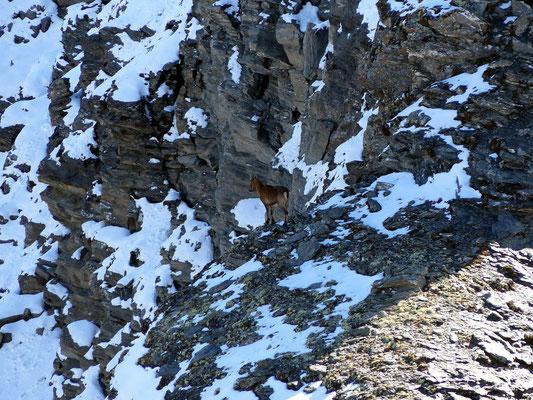 Gipfelblick - Steinwild in der Nordflanke