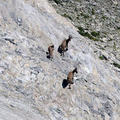 Bergziegen-Familie