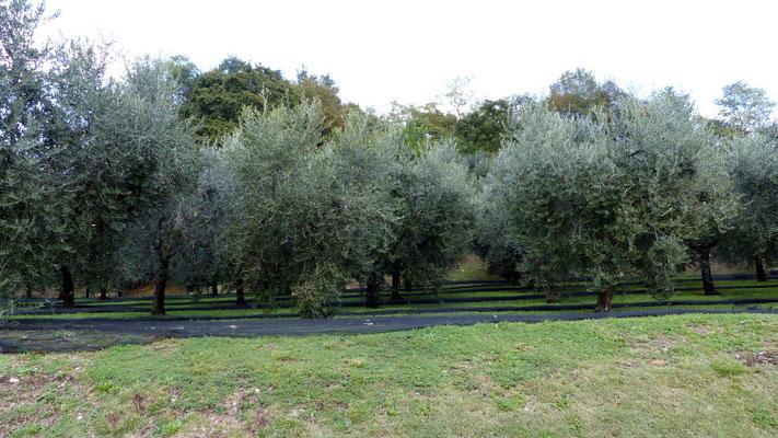 Olivenbaum-Plantage