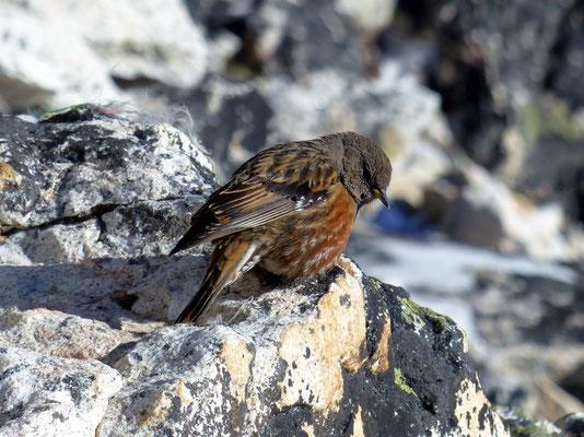 Vögelchen am Kala Patthar-Gipfel