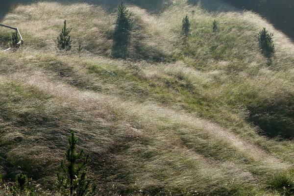 Morgentau über den Almengräsern