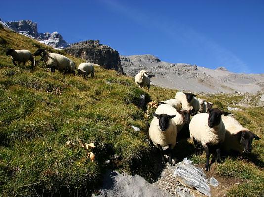 Schafe vor Dents du Midi